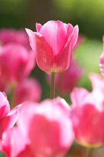 チューリップ ピンクの写真素材 [FYI00439902]