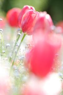 チューリップ ピンクの写真素材 [FYI00439910]