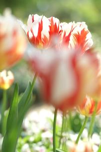チューリップ 赤白の写真素材 [FYI00439912]