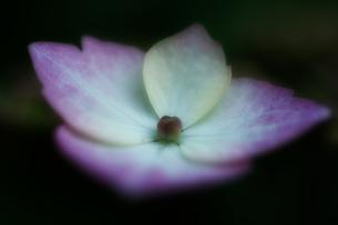 紫陽花 アジサイ ガクアジサイ ソフトフォーカスの写真素材 [FYI00439955]