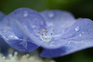 アジサイ 紫陽花 青 水滴 滴の写真素材 [FYI00439957]