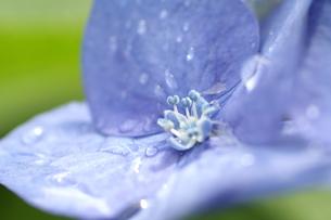 アジサイ 紫陽花 ガクアジサイ 青 水滴の写真素材 [FYI00439964]