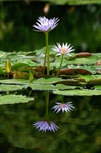 睡蓮 スイレン 青 紫 水面 映り込む 対称的の写真素材 [FYI00439965]