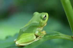 雨蛙 アマガエルの写真素材 [FYI00439966]
