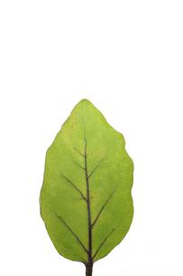 ナスの葉の写真素材 [FYI00440053]