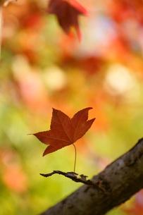 日陰の一枚の紅葉の写真素材 [FYI00440088]