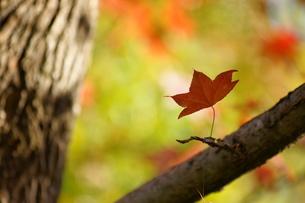 森の中の一枚の紅葉の写真素材 [FYI00440092]