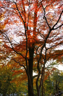 透過光と紅葉の素材 [FYI00440105]