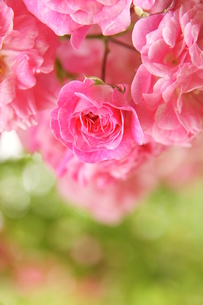 ピンク色のバラと水滴の写真素材 [FYI00440212]