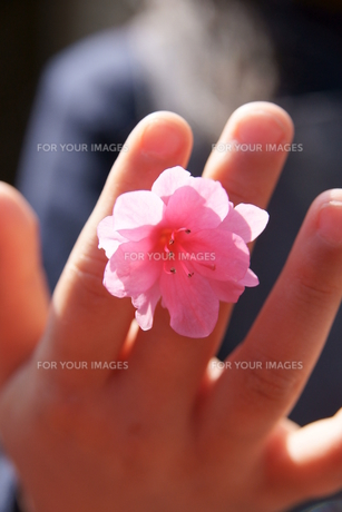 指に挟んだツツジの素材 [FYI00440235]