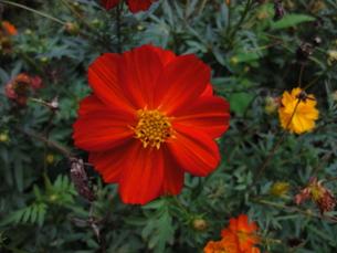 コスモスの花の写真素材 [FYI00440392]