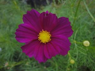 コスモスの花の写真素材 [FYI00440399]
