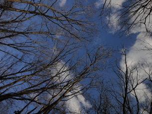 冬の晴れた日の空と木々の写真素材 [FYI00440405]