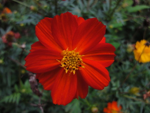 コスモスの花の写真素材 [FYI00440408]
