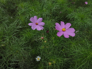 コスモスの花の写真素材 [FYI00440409]