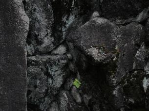津山城の石垣の中の緑の写真素材 [FYI00440415]