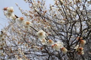 梅の花の写真素材 [FYI00440416]