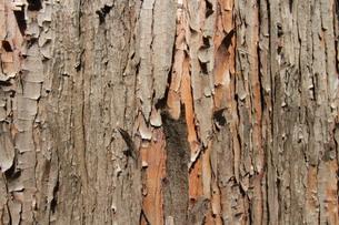 樹皮の写真素材 [FYI00440421]