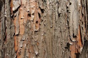樹皮の写真素材 [FYI00440430]
