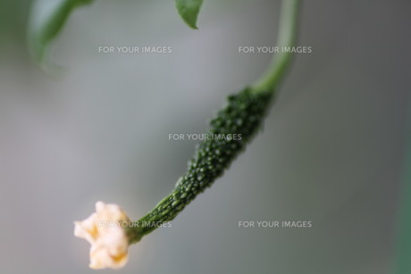 花が咲きかけの小さなゴーヤの写真素材 [FYI00440431]