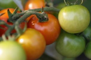 数色のミニトマトの写真素材 [FYI00440482]