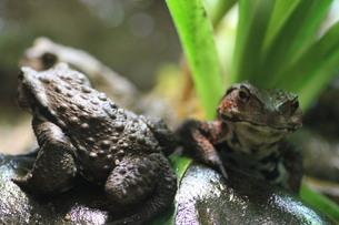 カメラ目線のカエル (引きサイズ)の写真素材 [FYI00440490]