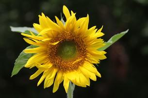 ヒメヒマワリの花の写真素材 [FYI00440491]