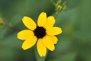ヒメヒマワリの花の写真素材 [FYI00440499]