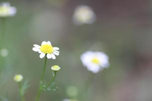 カモミールの花の写真素材 [FYI00440500]