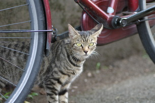 自転車とノラ猫の写真素材 [FYI00440502]