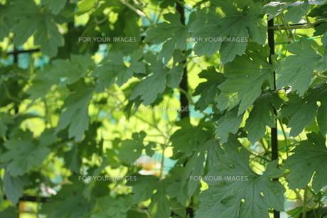 ゴーヤの葉の写真素材 [FYI00440503]