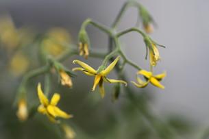 トマトの花の写真素材 [FYI00440505]