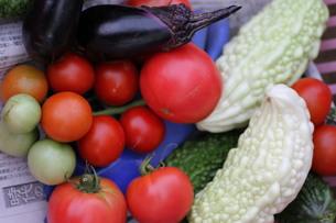 区民農園での夏野菜の収穫の写真素材 [FYI00440507]