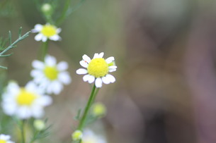 カモミールの花の写真素材 [FYI00440511]