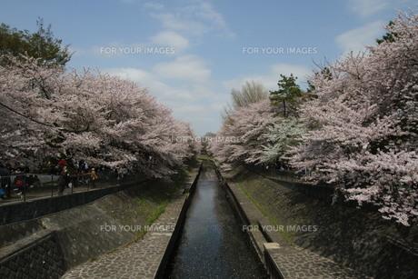 神田川と満開の桜の写真素材 [FYI00440544]