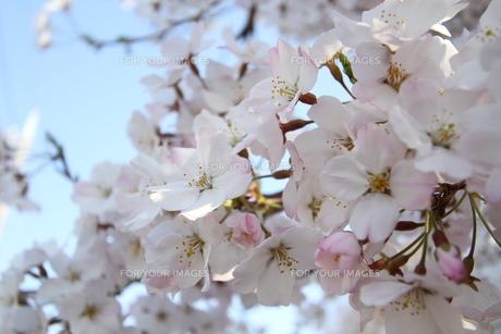 サクラ咲くの写真素材 [FYI00440545]