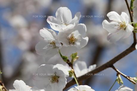 サクラ咲くの写真素材 [FYI00440554]