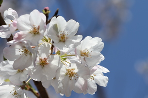 桜の花の写真素材 [FYI00440569]