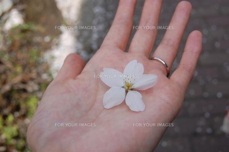 婚約指輪をはめた手のひらにのせた桜の花の写真素材 [FYI00440617]