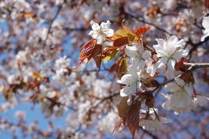桜の花のアップの写真素材 [FYI00440618]