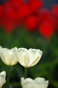 白いチューリップの写真素材 [FYI00440619]