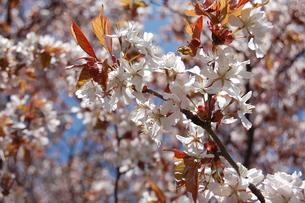 満開の桜の写真素材 [FYI00440627]