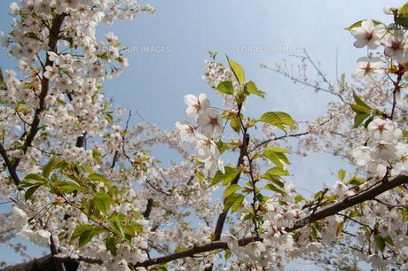 満開の桜と青空の写真素材 [FYI00440636]