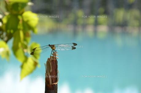 青い池(美瑛町)の写真素材 [FYI00440645]