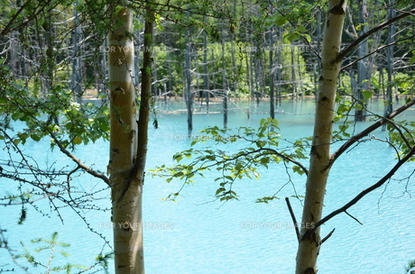 青い池(美瑛町)の写真素材 [FYI00440652]