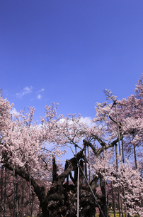 山高神代桜の写真素材 [FYI00440816]