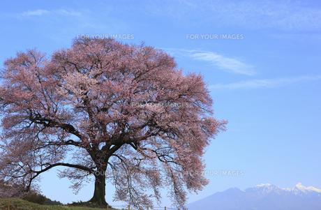 王仁塚の桜の素材 [FYI00440825]