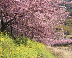 河津桜とナノハナの写真素材 [FYI00440862]