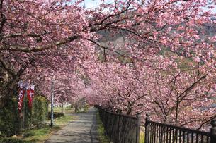河津桜並木の写真素材 [FYI00440878]