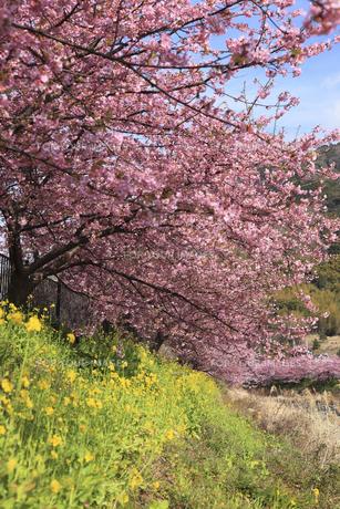 河津桜並木と菜の花の素材 [FYI00440882]